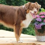Beau bij het zwembad van Arc de l'Amour in Auvergne Frankrijk. Hond meenemen naar Frankrijk